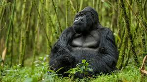 Gorilla by Gorilla Permits In Rwanda Increase Crooked Compass