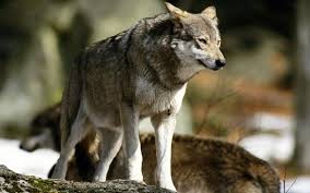 wolf pictures all about wolves wallpapers pinterest wolf
