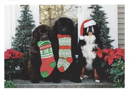 dog christmas cards 3 dogs christmas cards 10 cards big gentle dogs