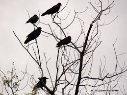 crows adapt outside my window