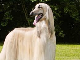 does an afghan hound shed afghan hound information characteristics facts names