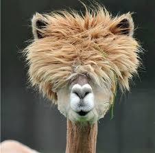 Alpaca Meme Generator - nice 25 alpaca meme generator wallpaper site wallpaper site