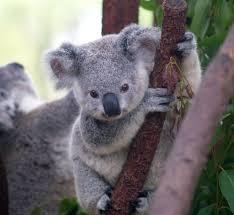 cutest koala this cute baby koala was shot in currumbin wi u2026 flickr
