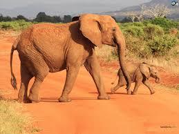 elephants wallpaper 13