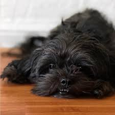 affenpinscher breeders canada calling all black dogs of the internet did you celebrate national