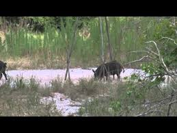 Ghost Hunting Blinds Kempher Hog Hunt Using Ghost Blind Youtube