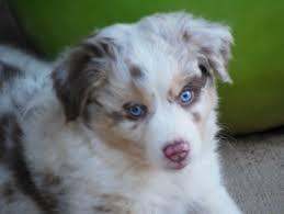 australian shepherd sale best 25 aussie puppies for sale ideas on pinterest mini aussie