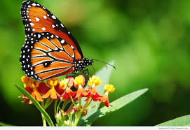 butterfly pictures images graphics for facebook whatsapp
