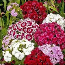 sweet william flowers sweet william wildflower seeds dianthus barbatus