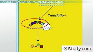 replication of rna viruses video u0026 lesson transcript study com