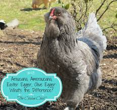 different chicken breeds video with types of chickens how to know