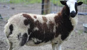 american jacob sheep hobby farms