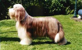 bearded collie brown bearded collie gallery u2013 the breed club connection