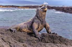 iguana island how to visit the galapagos islands without a cruise a complete guide