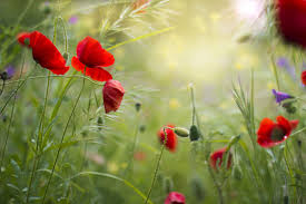 poppy wallpaper 46 wallpapers u2013 adorable wallpapers