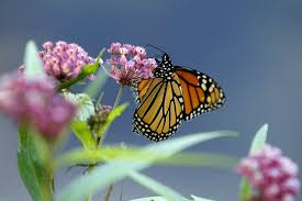 bye bye butterfly how you can fight the monarch die