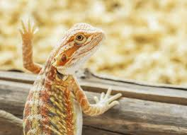 inland bearded dragon pogona vitticeps petmd