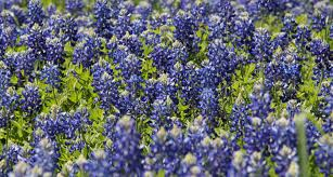 native texas plants texas state flower the bluebonnet proflowers blog