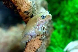 for sale blue eyed white s tree frogs samurai pacmans