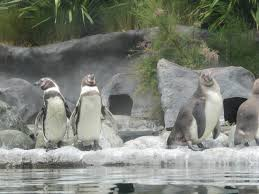 humboldt penguins at penguin shores of colchester zoo 11 07 14