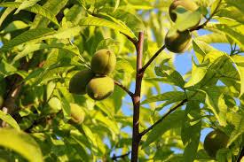 nectarine tree care how and where do nectarines grow