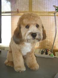 how to cut a goldendoodles hair groomers bbs labradoodle and goldendoodle grooming