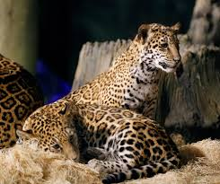 baby jaguars are named at the zoo gagdaily news