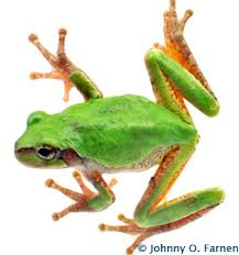 frog forum gray tree frog care and