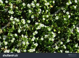 Tree With Little White Flowers - top view green grass small white stock photo 453313222 shutterstock