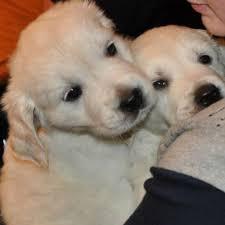 english white golden retriever puppy breeder pristine puppies