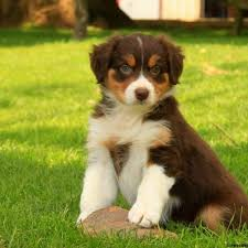 buy a australian shepherd australian shepherd puppies for sale greenfield puppies