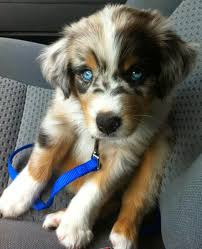 australian shepherd 2 noses what dog breeds have blue eyes luv my dogs