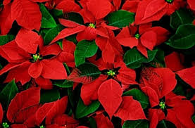 christmas plants giftfluence christmas plants my not be available this year