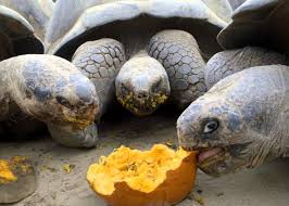 tortoises eat pumpkins for halloween at the san diego zoo video