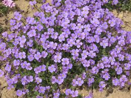 aubrieta deltoidea purple rockcress herbaceous ornamental plants