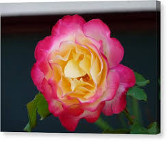 multicolor roses multicolor photograph by donahue