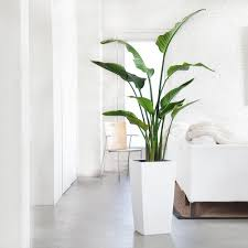indoor plant bird of paradise plant potted in modern cubico planter my city plants