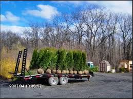 of our 6 7 ft emerald green arborvitae