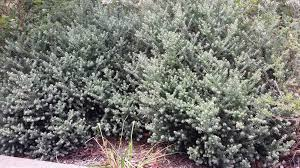 best australian native hedge plants the simplest guide to australian natives in your home garden