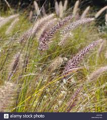 meadow of ornamental purple grass with large seed heads