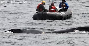 ccs responds to severely entangled humpback whale foggy off
