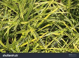 spider plant green ornamental grass like stock photo 95746753