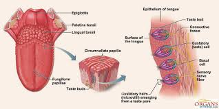 human tongue parts functions with details and diagram