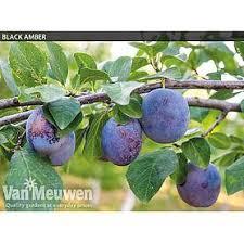 cheap dwarf patio fruit trees for sale buy a miniature fruit