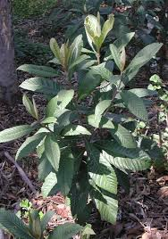 loquat trees