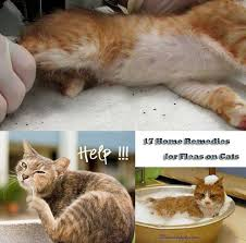 Can Bed Bugs Live On Cats Best 25 Home Remedies Fleas Ideas On Pinterest Flea Remedies