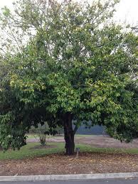 australian native plants for sale daleys fruit tree blog soursop tree for sale in australia