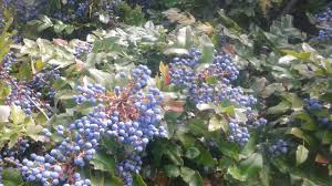 native alberta plants moran wild berries you can eat right now infonews ca kelowna