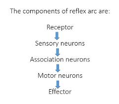 Relex Arc Wat Is Reflex Arc Explain With Flowchart Meritnation Com