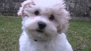 poodle x bichon frise bijon frise shih tzu puppy playing youtube
